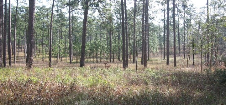 bobwhite habitat managed through prescribed fire photo